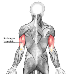250px-Triceps_brachii