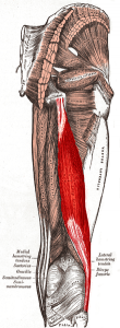 Reiden takaosan lihakset. Kuva: Wikipedia